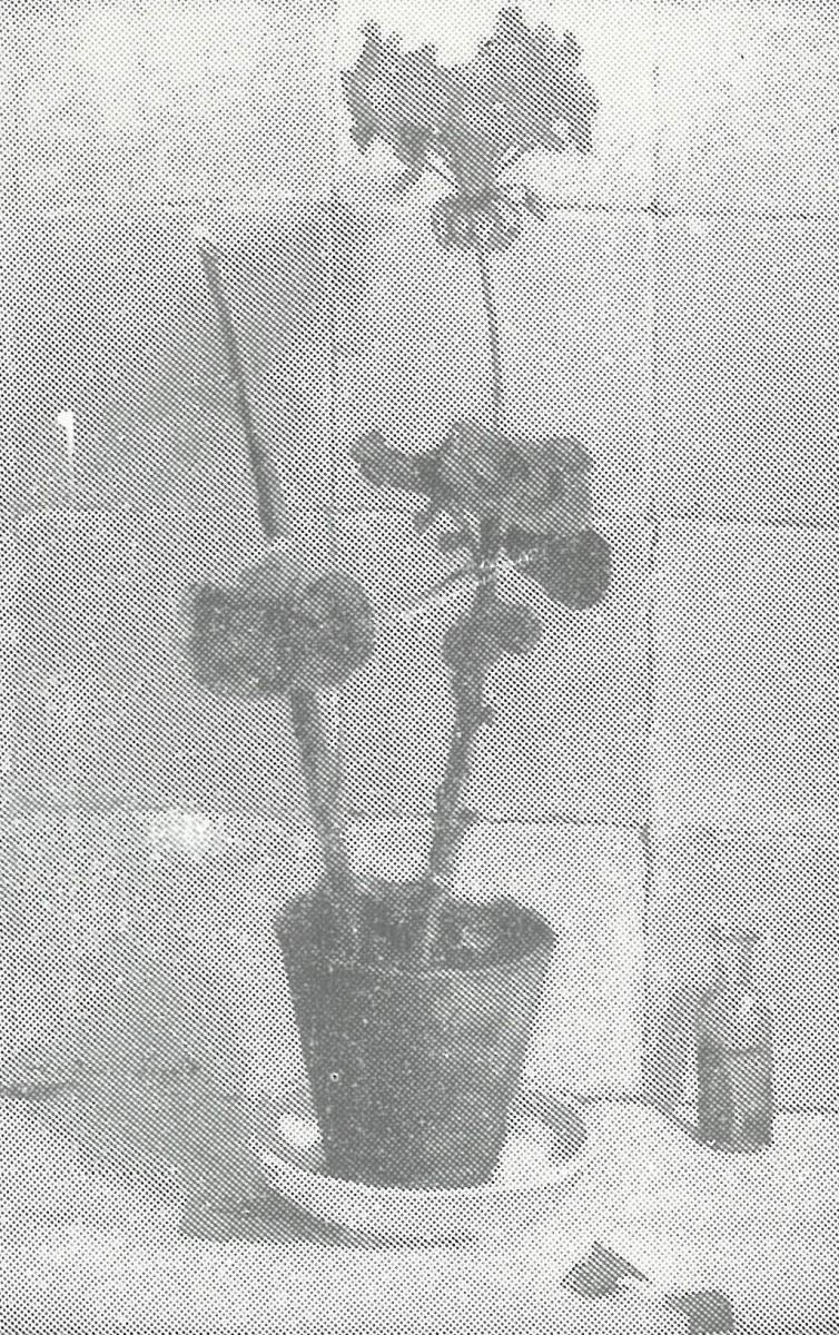 Geranium (1917-1918) door Lucie van Dam van Isselt